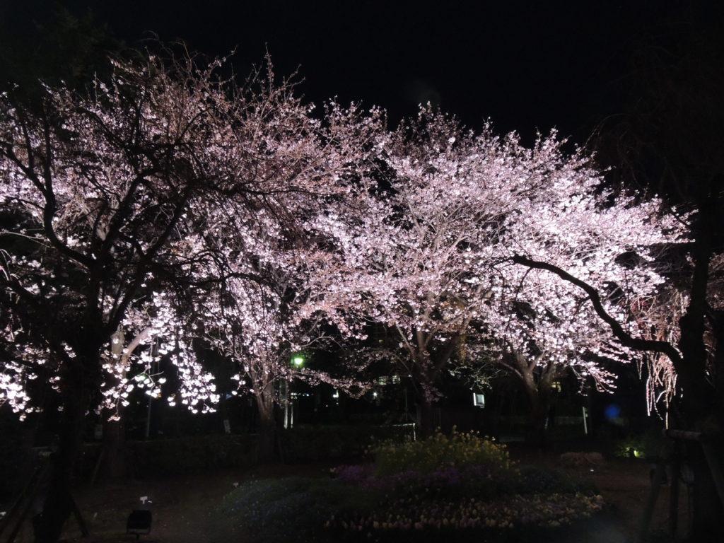びわ湖大津館ソメイヨシノ(手前は枝垂れ桜)