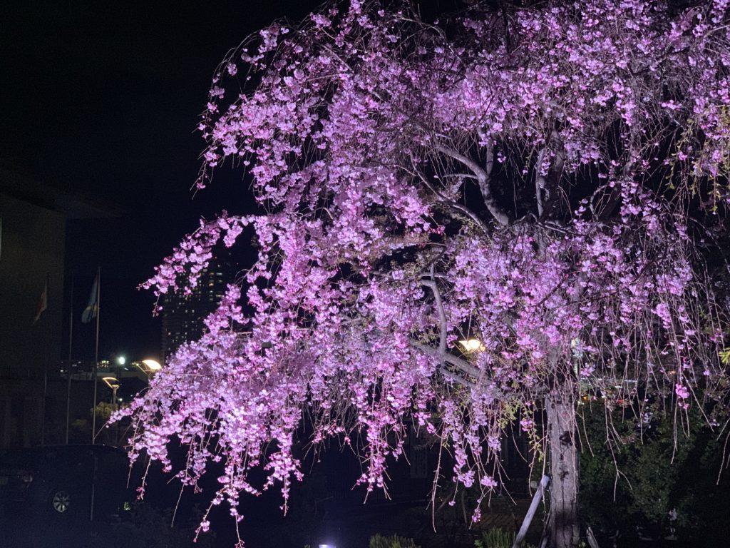 びわ湖大津館の枝垂れ桜
