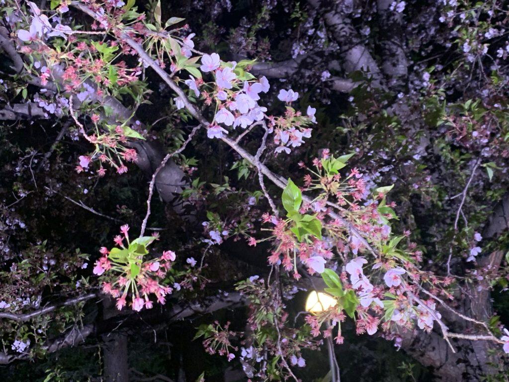 ソメイヨシノ葉桜